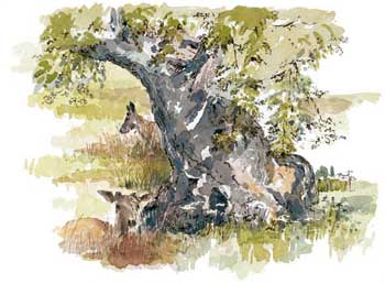 A large picture of Oaks and Deer at Bradgate Park